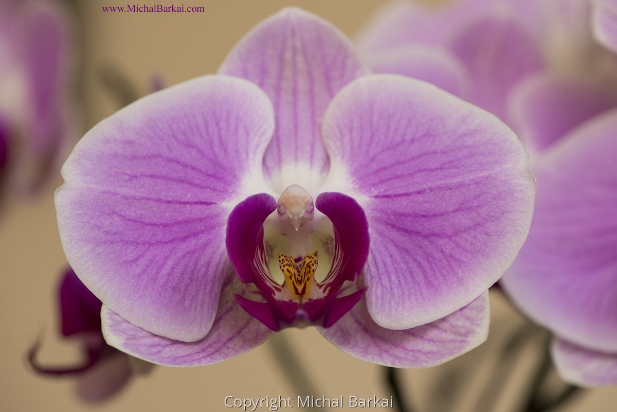 Orchid Dove (large view)