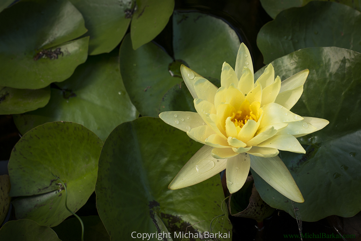 Yellow Water Lily (large view)