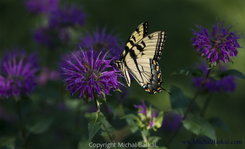 Monarch, Bee Balm