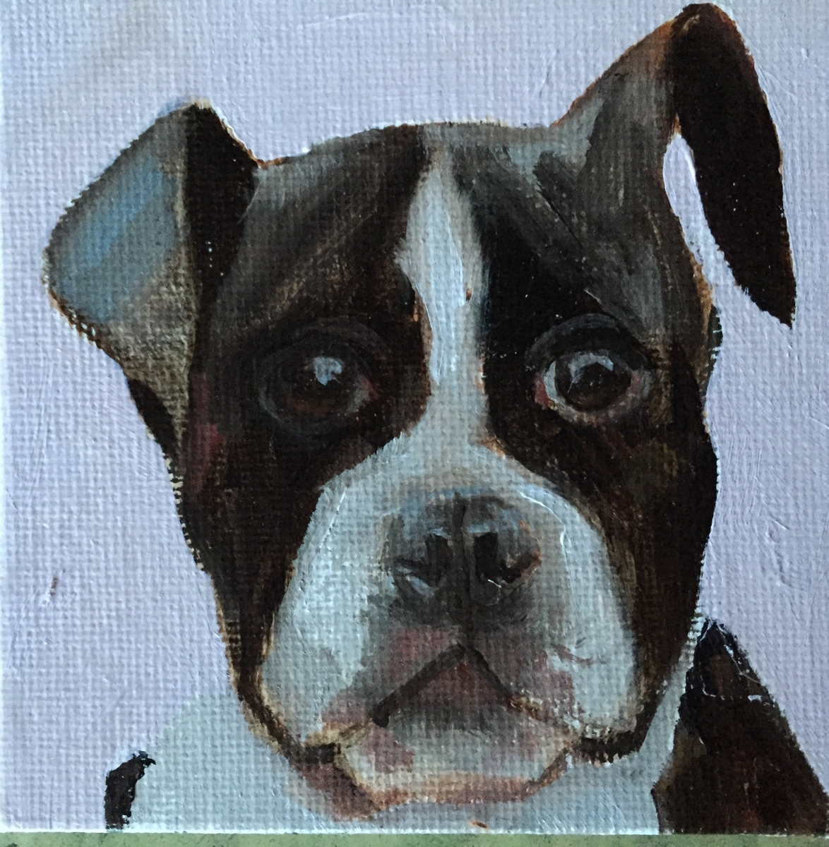 Boston Terrier (large view)