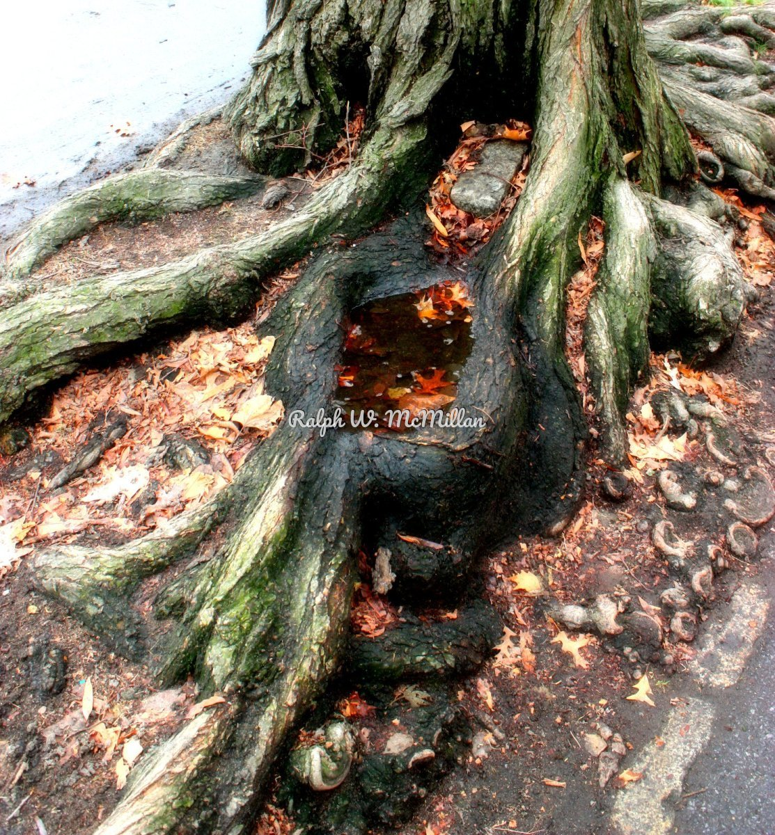 Roots Above Ground (large view)