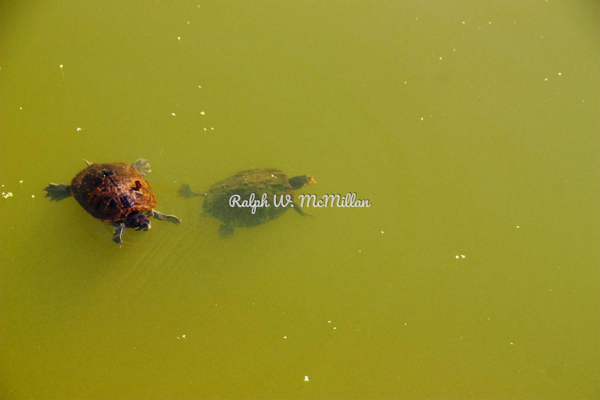 Pond Turtles # 1 (large view)