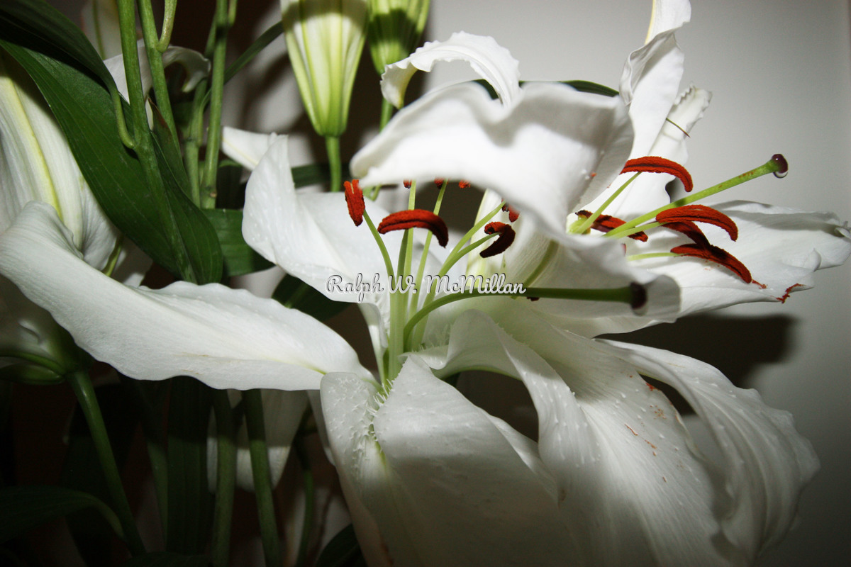 Lilium Eye Liner  White Flower Farm Lilies # 1 (large view)