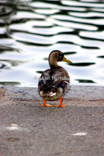 Z-Duck # 2