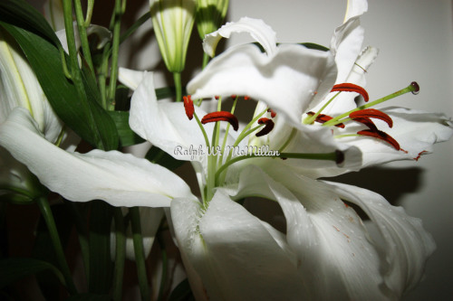 Lilium Eye Liner| White Flower Farm Lilies # 1 by Ralph W. McMillan