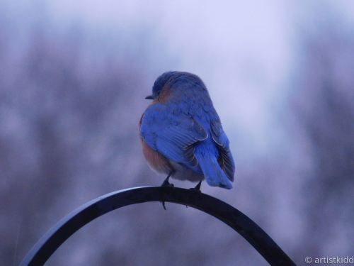 little blubird