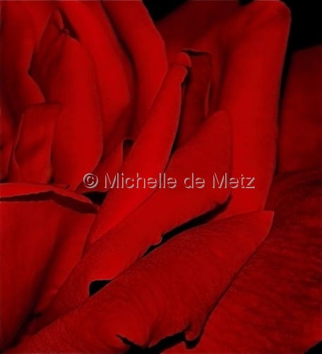 Rose Red No. 3 by Michelle de Metz