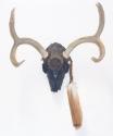 Deer Skull (thumbnail)