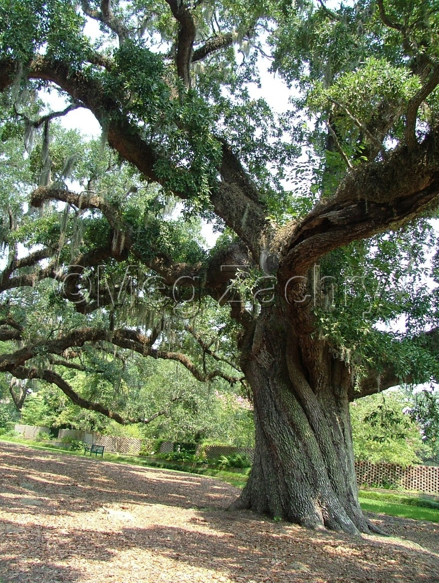 A live oak in the sculpture garden, Brookgreen Gardens. (large view)