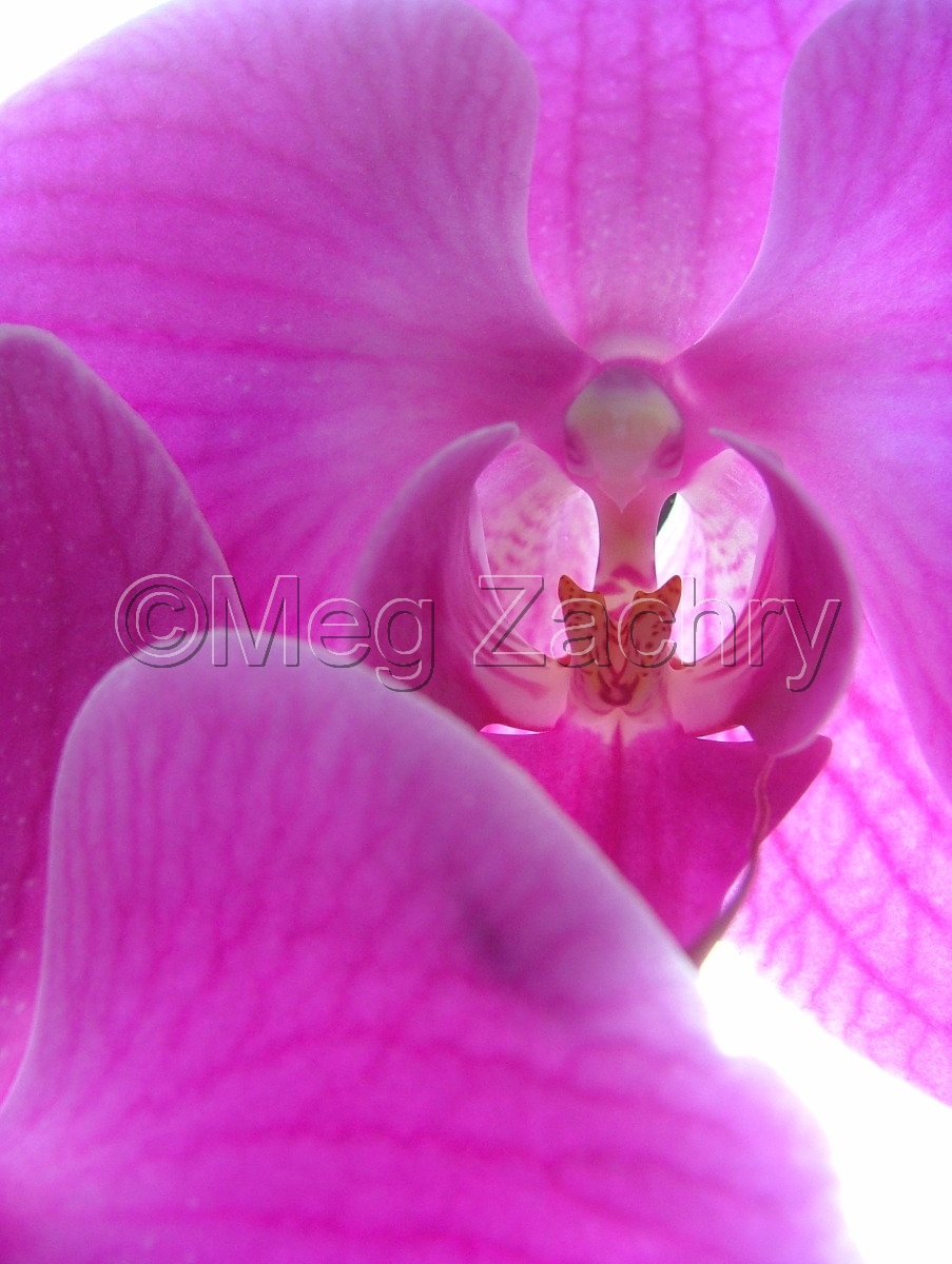 A pink moth orchid in my mother's front window. (large view)