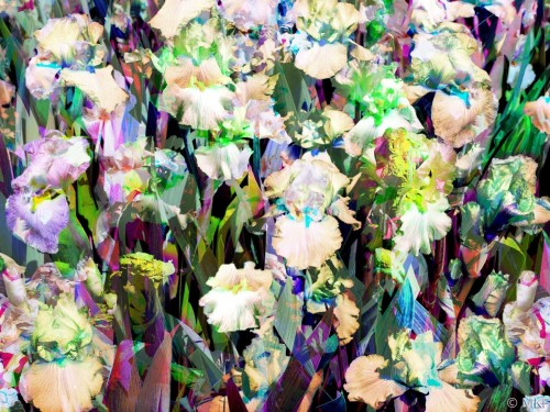 Irises 8