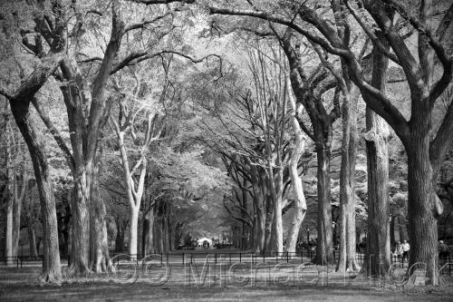Avenue Of The Elms, Central Park