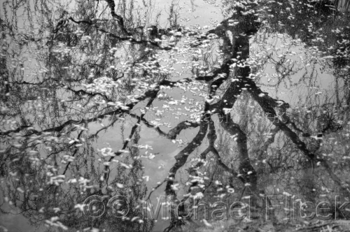 Reflected Tree, Fallen Blossoms