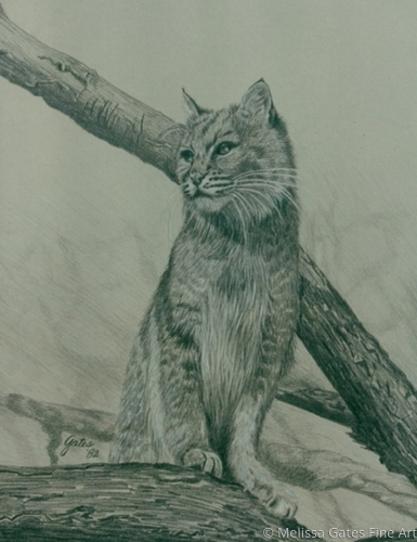 MG122 Bobcat 1  by Melissa Gates Fine Art