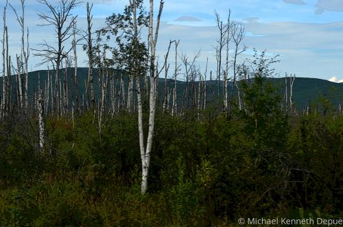 Alaska Birch Grove