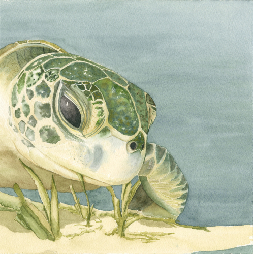 Turtle Seagrazing 7