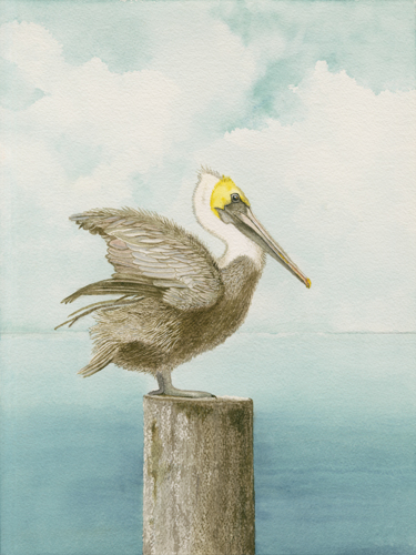 Brown Pelican Posting 16