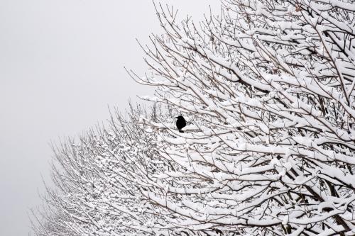 La Neige Series: Tuileries (Blackbird) by Meredith Mullins