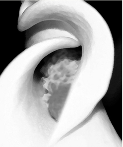 White Calla Lilly (large view)