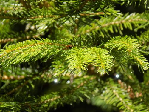 Pine Needle Rain