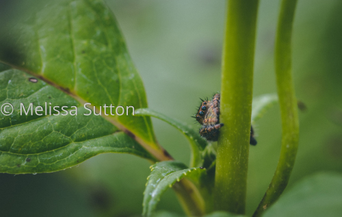 A Shy Jumping Spider