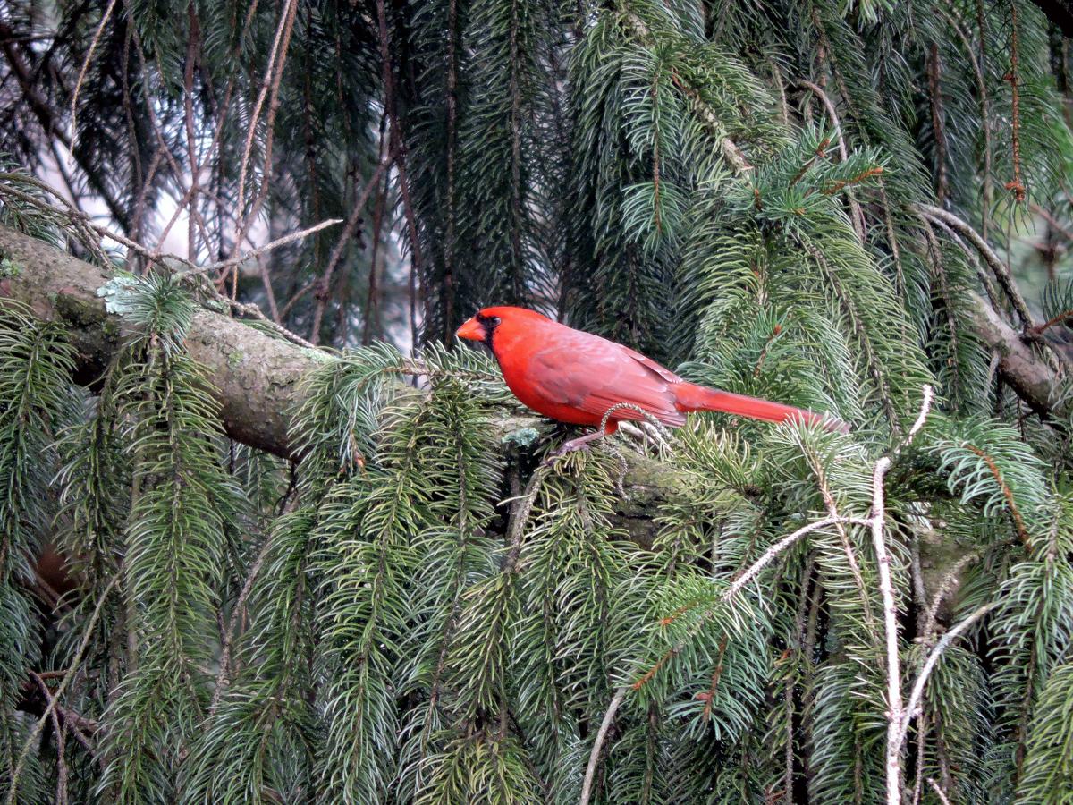nature photo of Cardinal (large view)