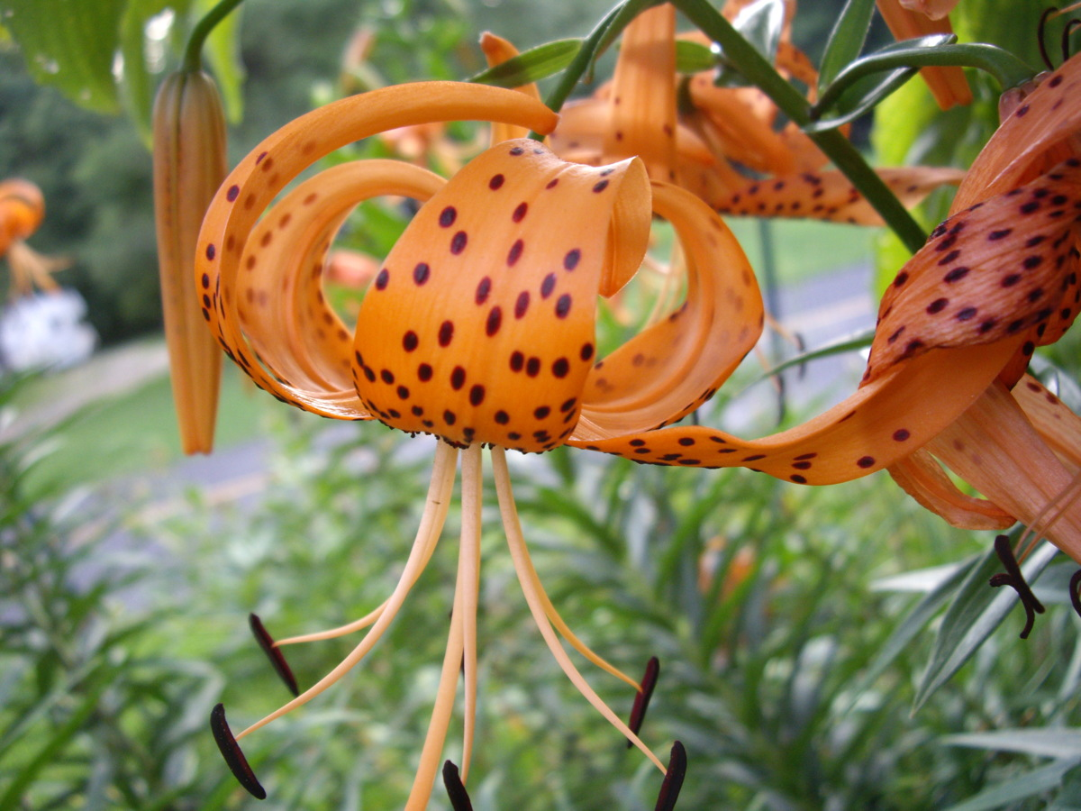 Tiger Lilies (large view)