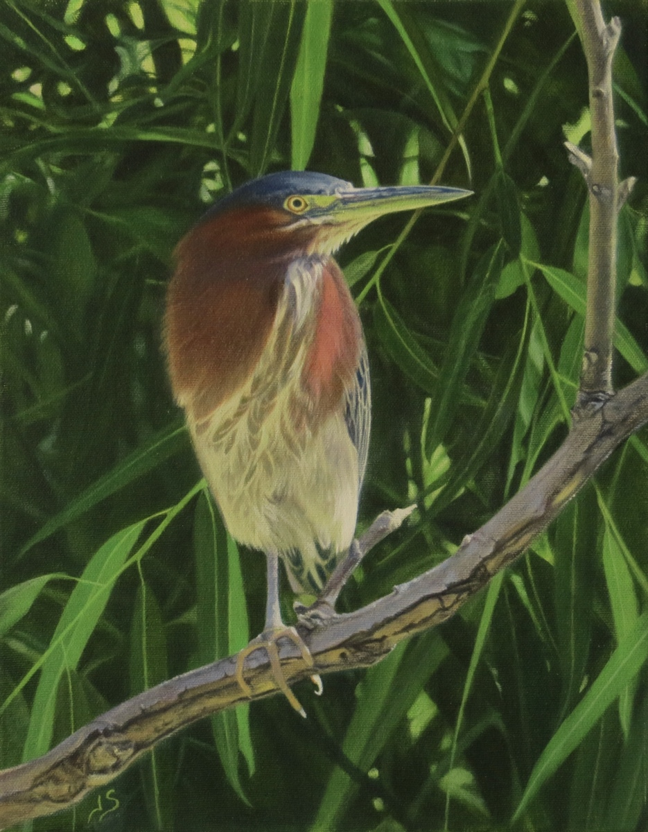 Young Green Back Heron on One Leg (large view)