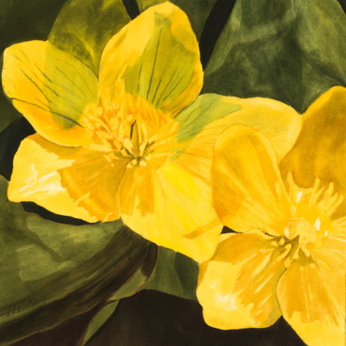 Marsh Marigolds #2