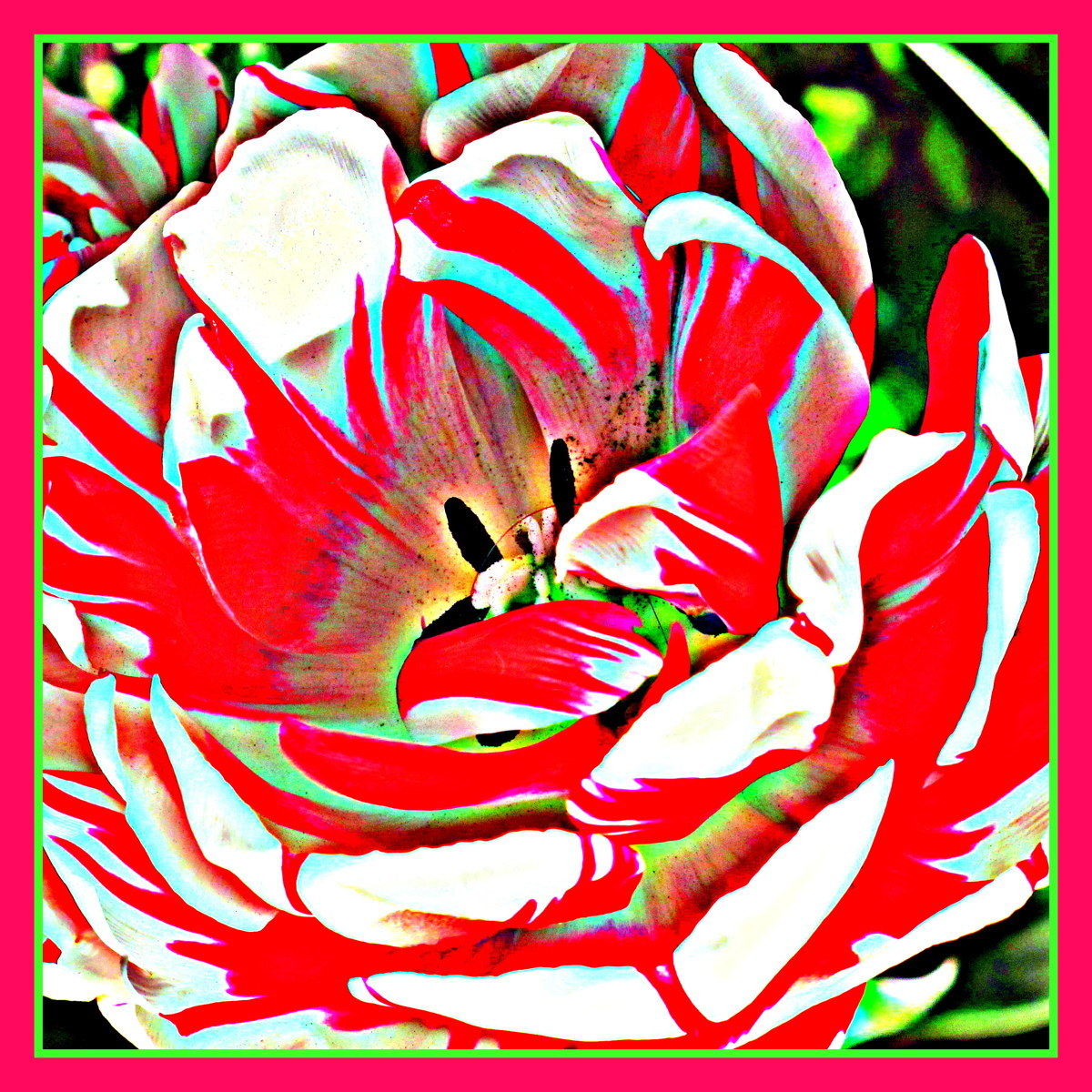 Tulip (large view)
