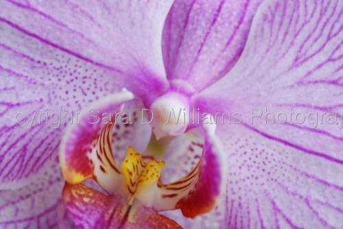 Purple Orchid by Photography by Sara D. Williams