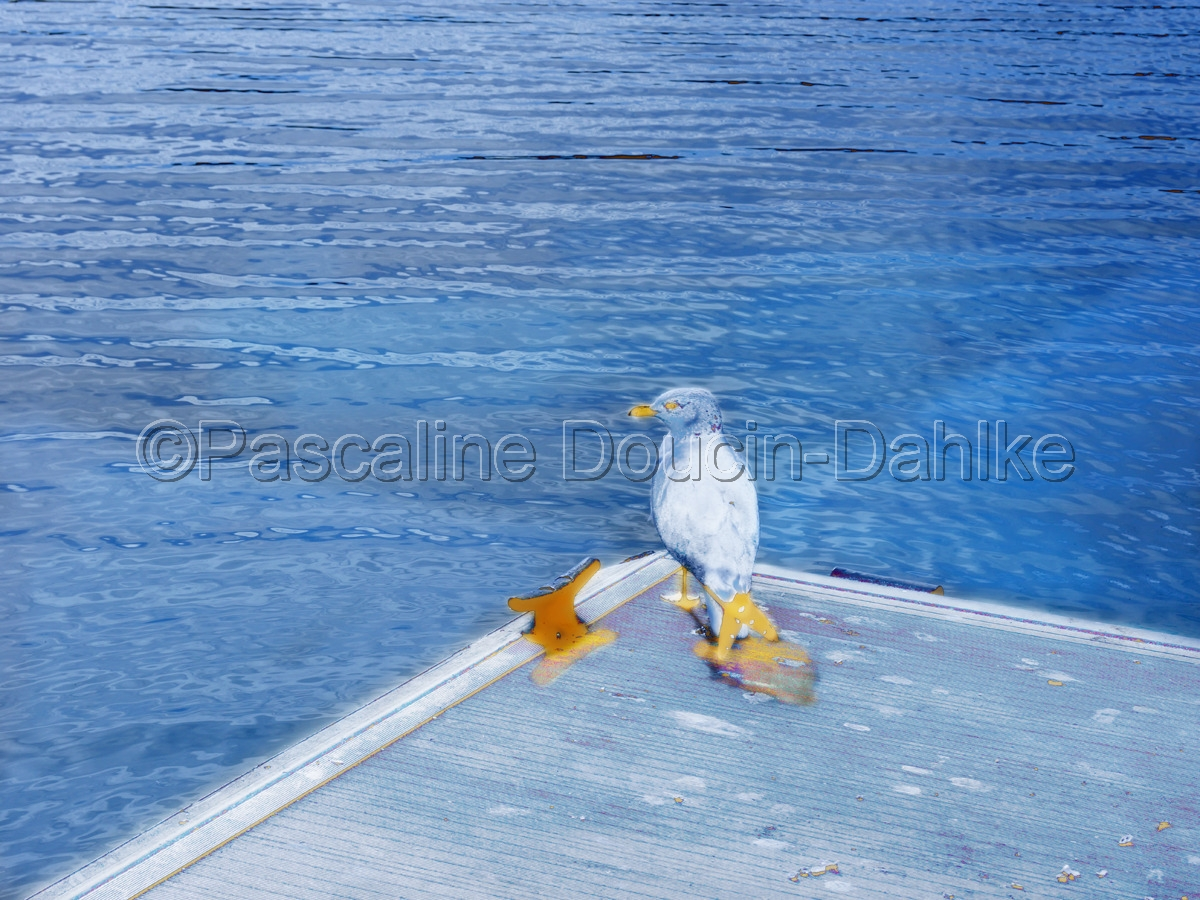 Seagull at the end of a corner of a deck in Lake Casitas (large view)