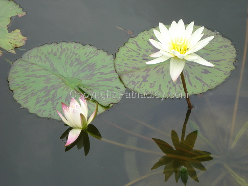 Flowers in Lilly Pond