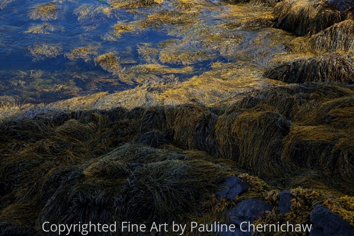 Monhegan Rockweed (large view)