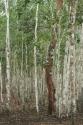 Tree and tree trunks (thumbnail)