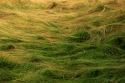 Monhegan Grass (thumbnail)