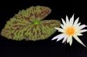 Flowering Water (thumbnail)