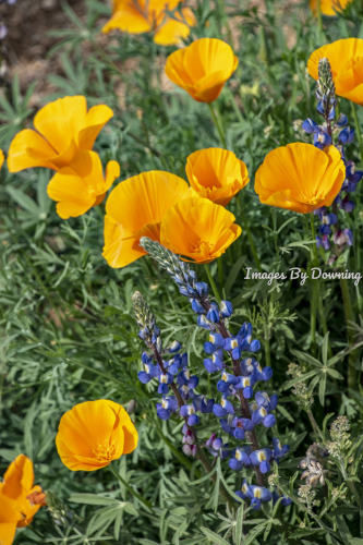 Poppies & Lupine