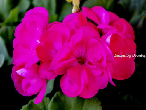 Geraniums  by Images By Downing