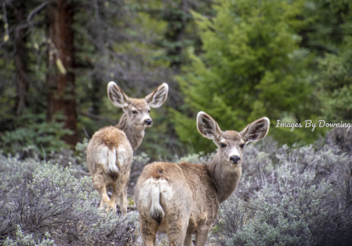 Mule Deer in the Spring
