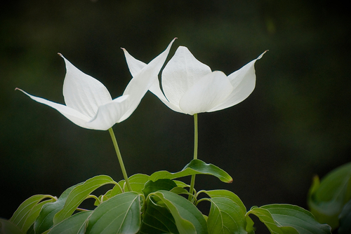 Two white flowers