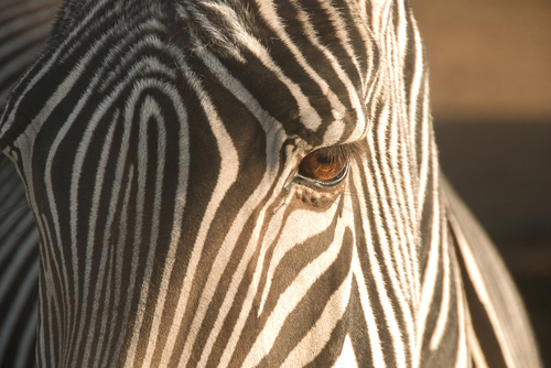Zebra close up by Peter Sterbach