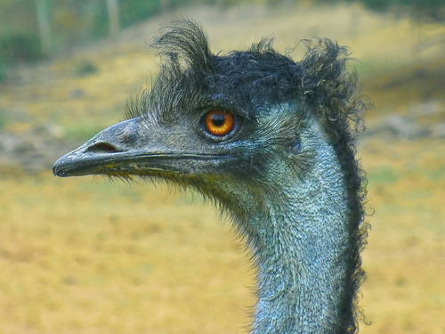 Ostrich on a Bad Hair Day