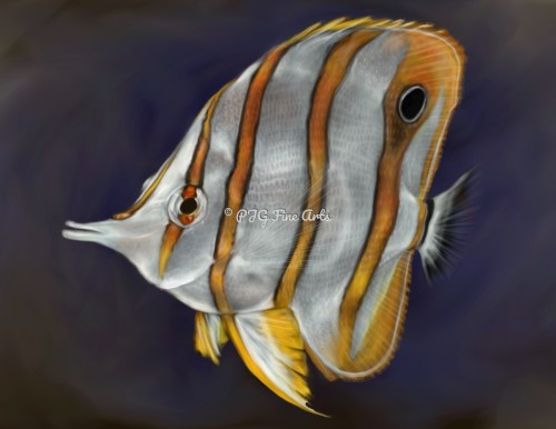 Copperbanded Angel fish