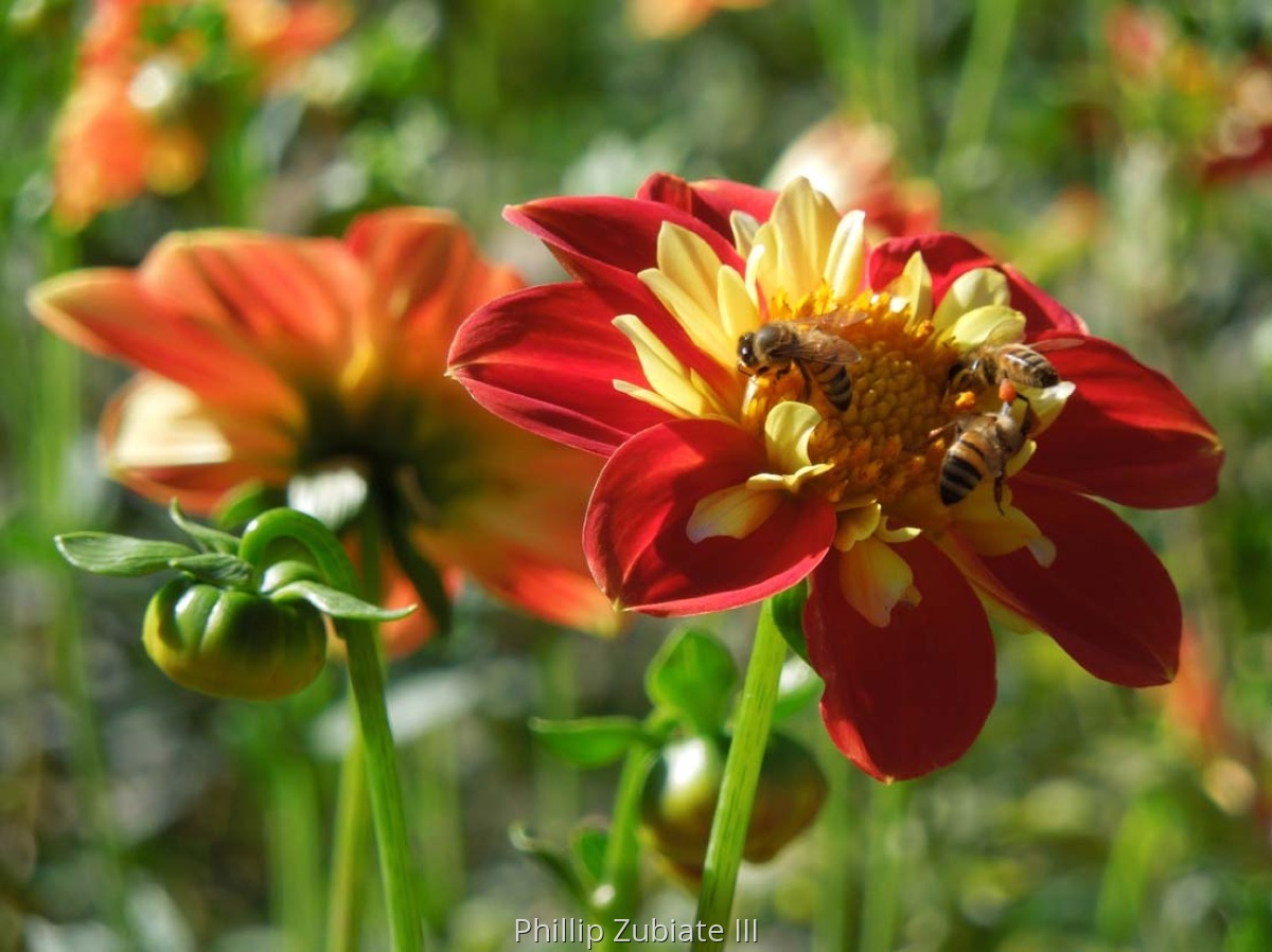 Dahlias & Bees 2 (large view)