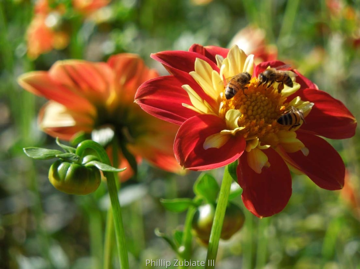 Dahlias & Bees 3 (large view)