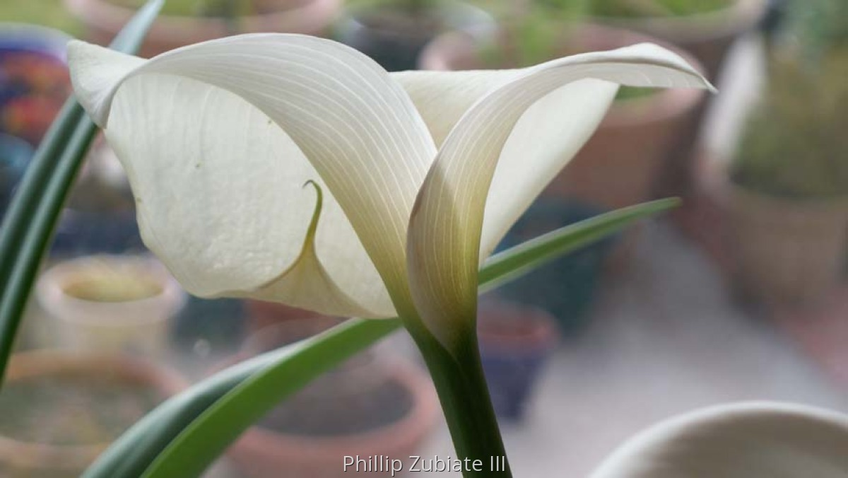 Calla Lilly (large view)