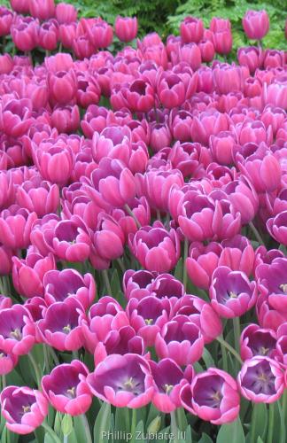 Springtime Tulips ( Vegas Series )