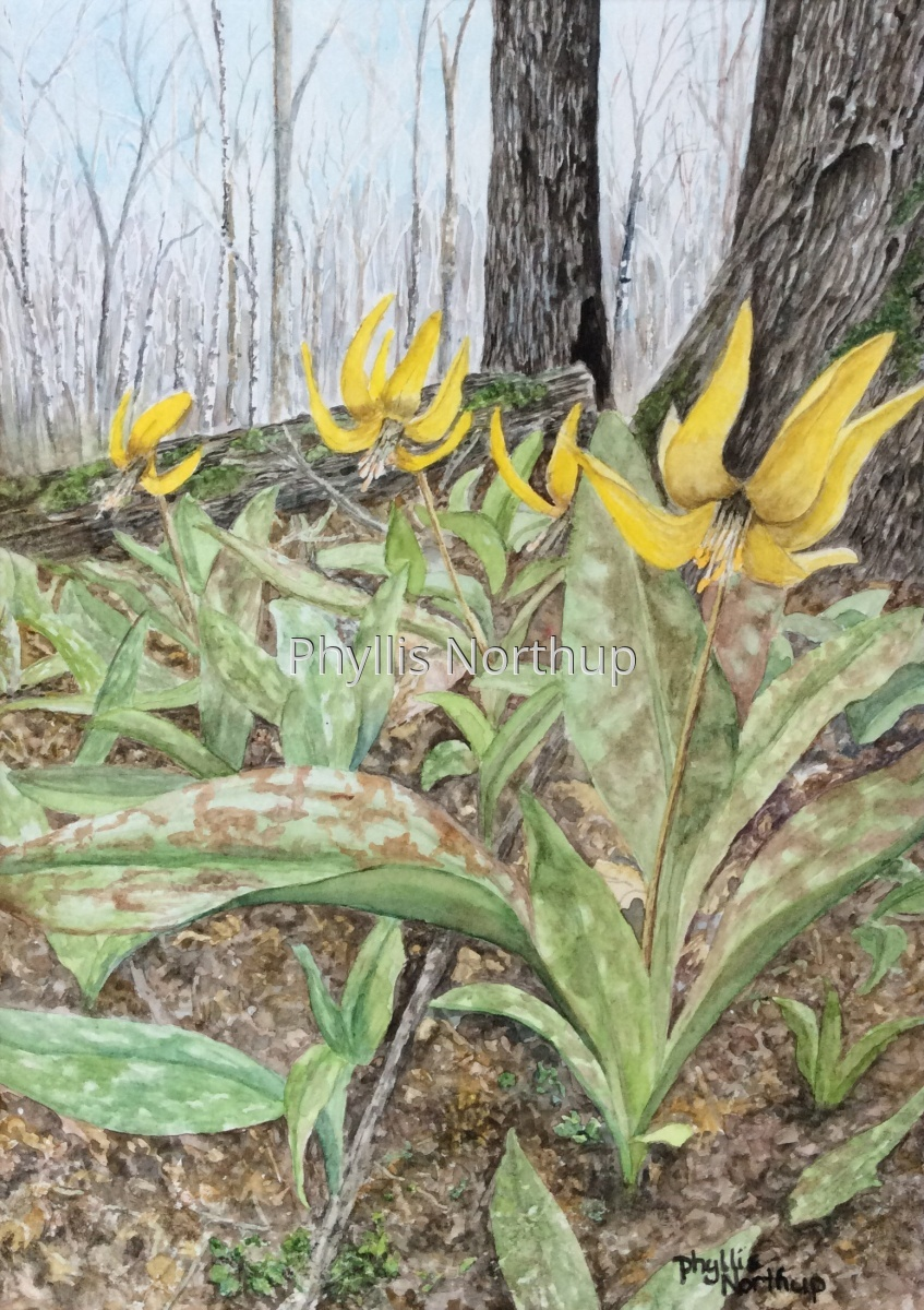Trout Lillies (large view)