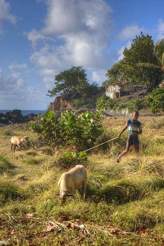 Tobago Sheep